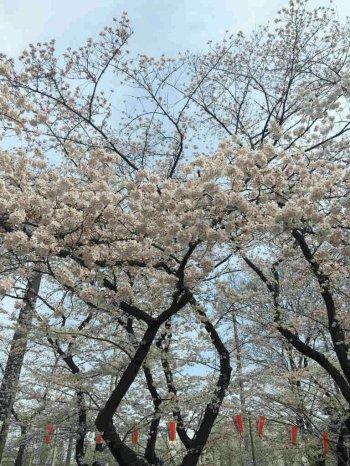 桜を見に上野公園へ行ってきました。