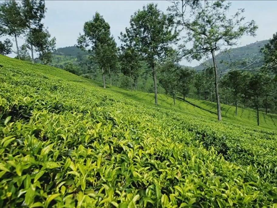 グレンデール茶園の茶畑