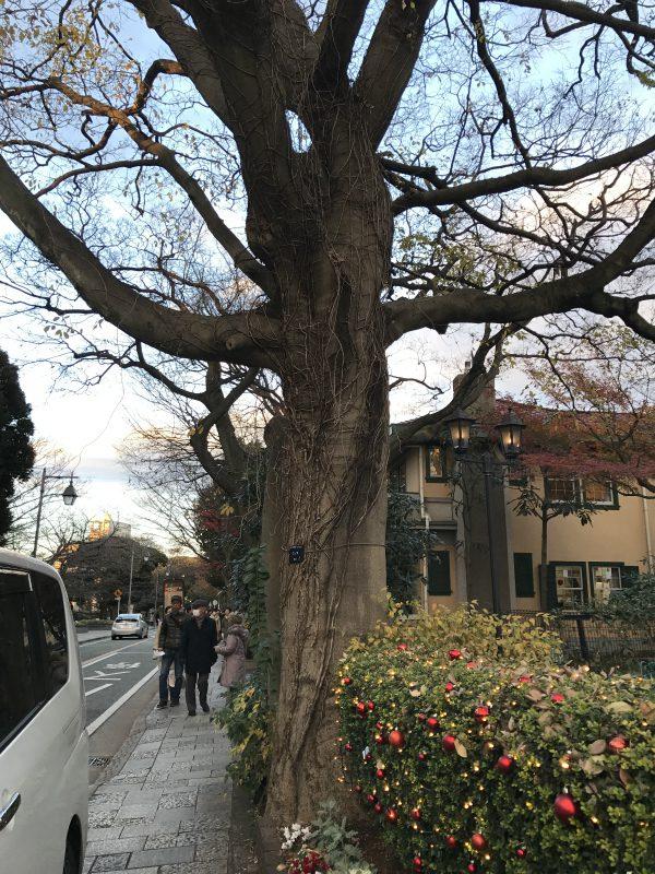 庭先にある大きな榎の木。
