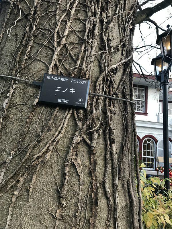 この木があるから「えの木てい」なんですよねぇ