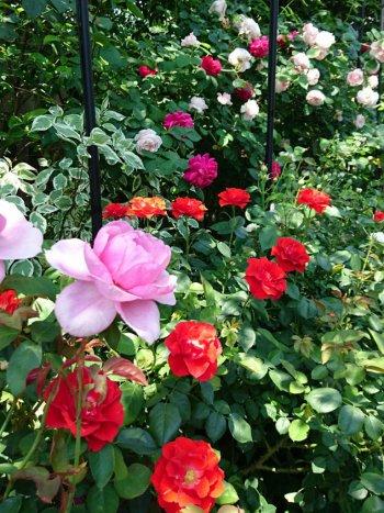 薔薇は見事に満開でした。