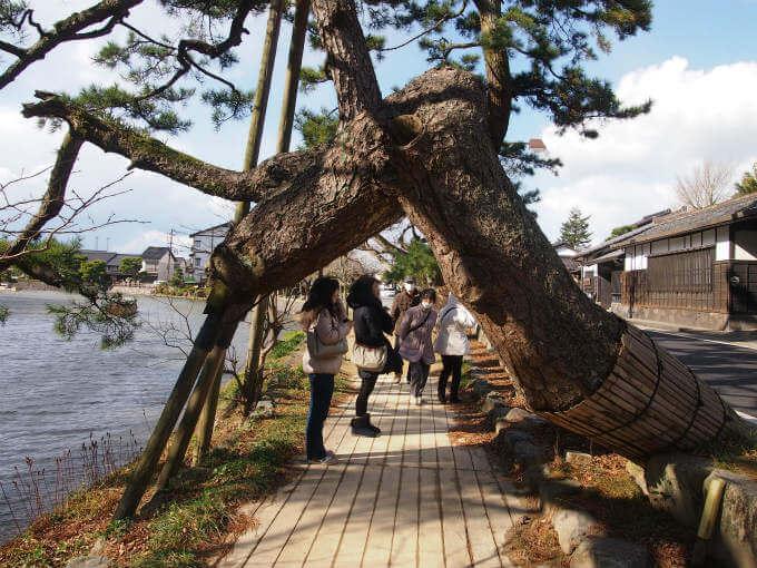 松江城の北側の塩味縄手付近にある「縁の松」。この松をくぐると良いことがあるそう。