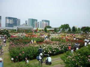 こちらは数年前の5月中旬の京成バラ園。バラがたくさん咲いています。